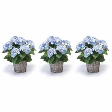 3x blauwe hortensia plant in mand 45 cm prijs