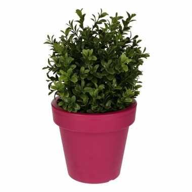 Buxus plant met fuchsia pot 31 cm prijs