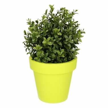 Buxus plant met limegroene 31 cm prijs